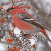 pine grosbeak golden bc