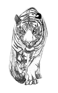 Katie Craighill's Tiger