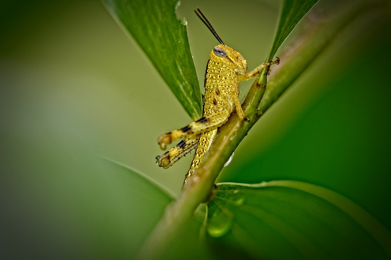 Grasshopper - Uncropped.