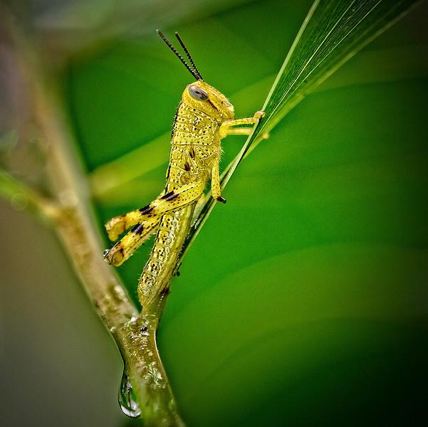 Grasshopper. Cropped.