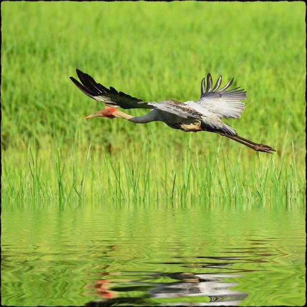 Brolga Skimming Long Swamp.