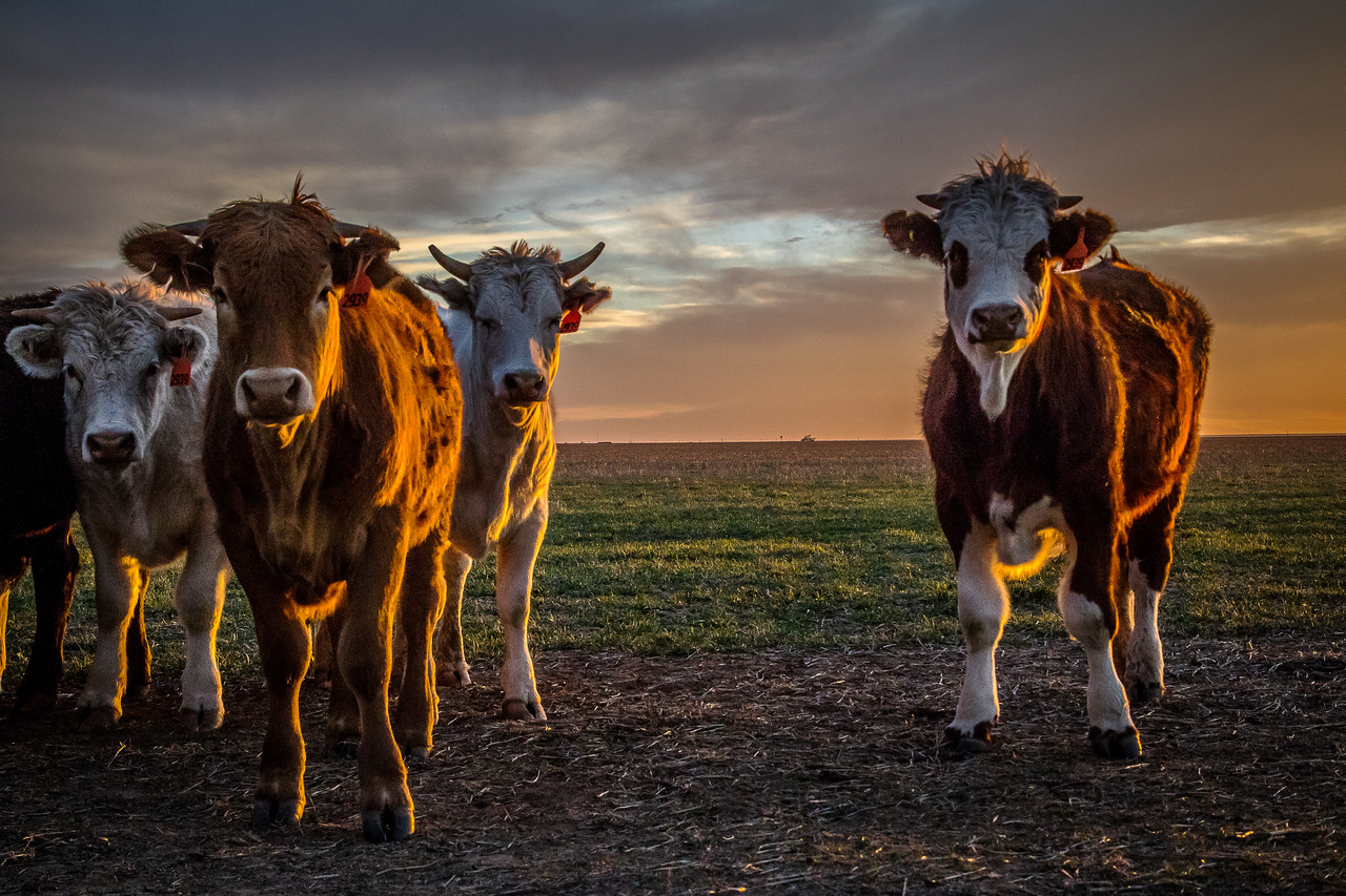 Cattle at Sunset