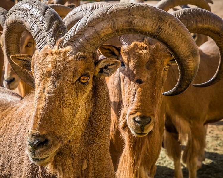 Old Aoudad Sheep near Palo Duro Canyon