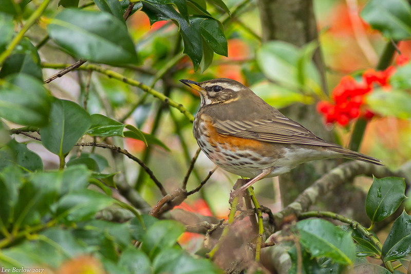 redwing victoria bc third record for bc
