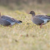 pink- footed goose. second record for western north america victoria bc
