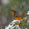 varied thrush vancouver island