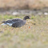 pink-footed goose. second record for western north america. victoria bc