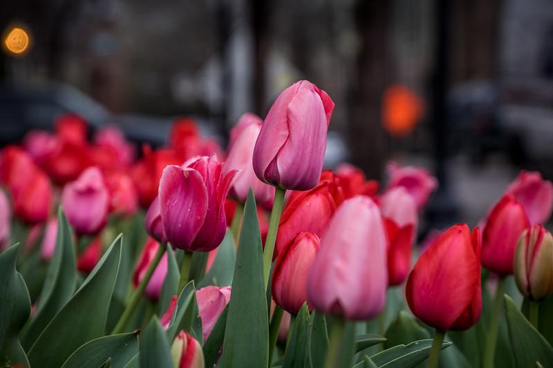 Dallas Tulips