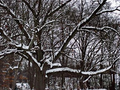 2/11   My Favorite Oak Tree - Heavy Burden of Snow
