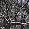 2/11   My Favorite Oak Tree - Heavy Burden of Snow