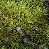2/21  Green Sphagnum Moss