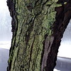 Locust Tree with Green Lichens