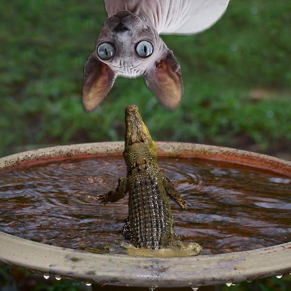 Cat Killer Croc!