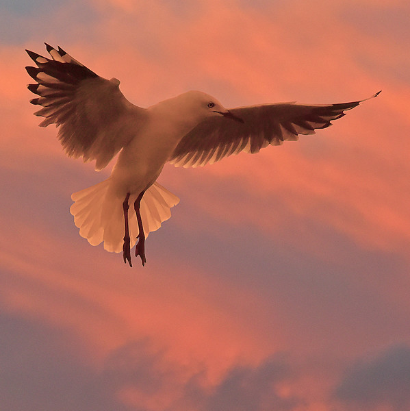 """Gull - By Dawn's Early Light. Cropped."""
