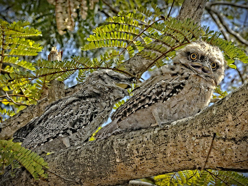 Tawny Frogmouths. 2 of 3.