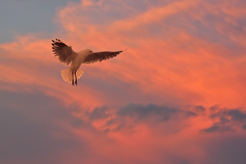 """Gull - By Dawn's Early Light."""
