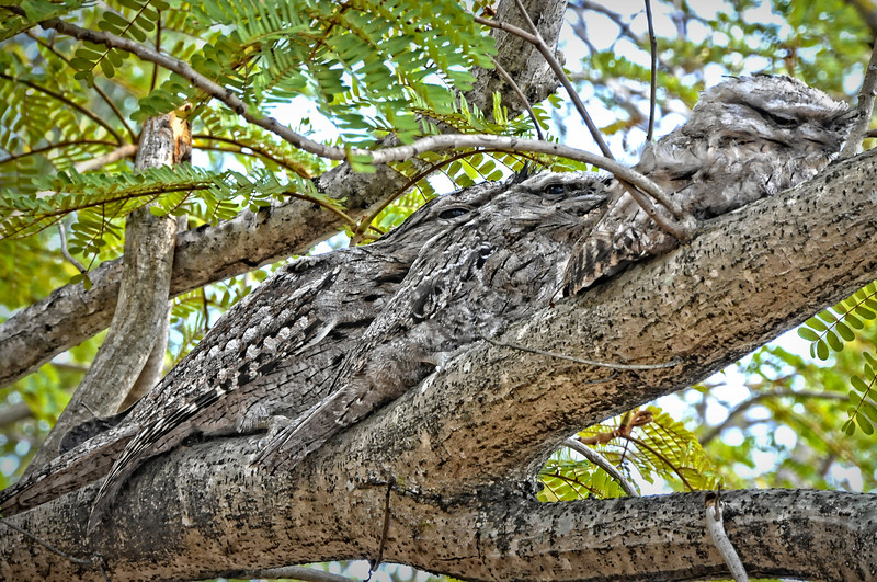 Tawny Frogmouths. 1 of 3.