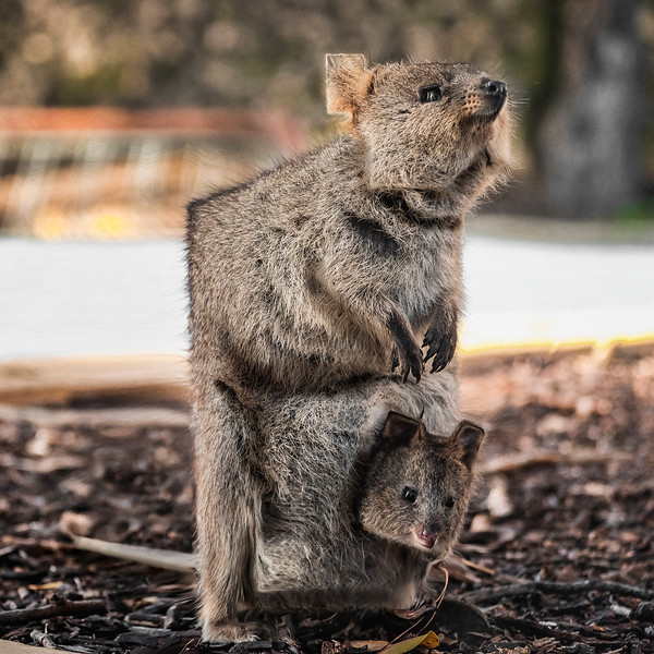 """Cubic Quokka and Her Joey."""