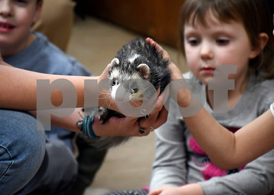 2/10/2018 Mike Orazzi | Staff Moose, a ferret, at the New Britain Youth Museum at Hungerford Park during the Wild about Animals Valentine's Day Party on Saturday in Kensington.