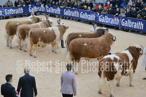 Simmental at Stirling Bull Sales - February 19th 2018