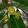 Gum Nuts in the Rain.
