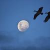'Plumed Whistling Ducks, Toolakea Beach, North Queensland.'