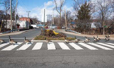 02/25/19  Wesley Bunnell | Staff  Geese make their way down Memorial Boulevard while crossing Mellen St on Monday afternoon.