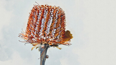 Banksia Serrata - Watercolour 3.