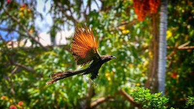 Pheasant Cuckol in Flight,  Suburban Townsville. 1.