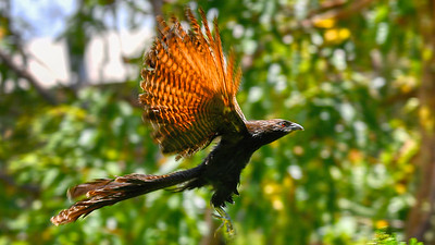 Pheasant Cuckol in Flight,  Suburban Townsville. 2.