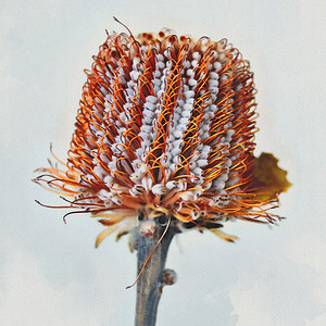 Banksia  Serrata - Watercolour 2.