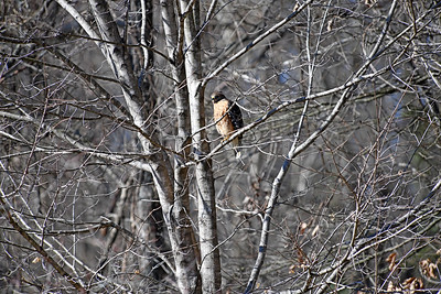 This is roughly the view I normally get, even with a telephoto. The hawks are normally fairly high up in the trees. This one let me keep walking closer - with a decent sized zoom lens.
