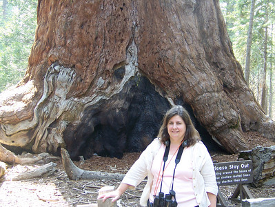 "The is the largest tree in the grove.  It is 27 feet across.  This tree is so big, the bottom couldn't fit in our living room.  It has been named, ""The Grizly Giant."""