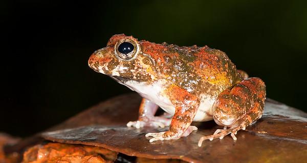 Fejervarya cepfi (frog named after CEPF)