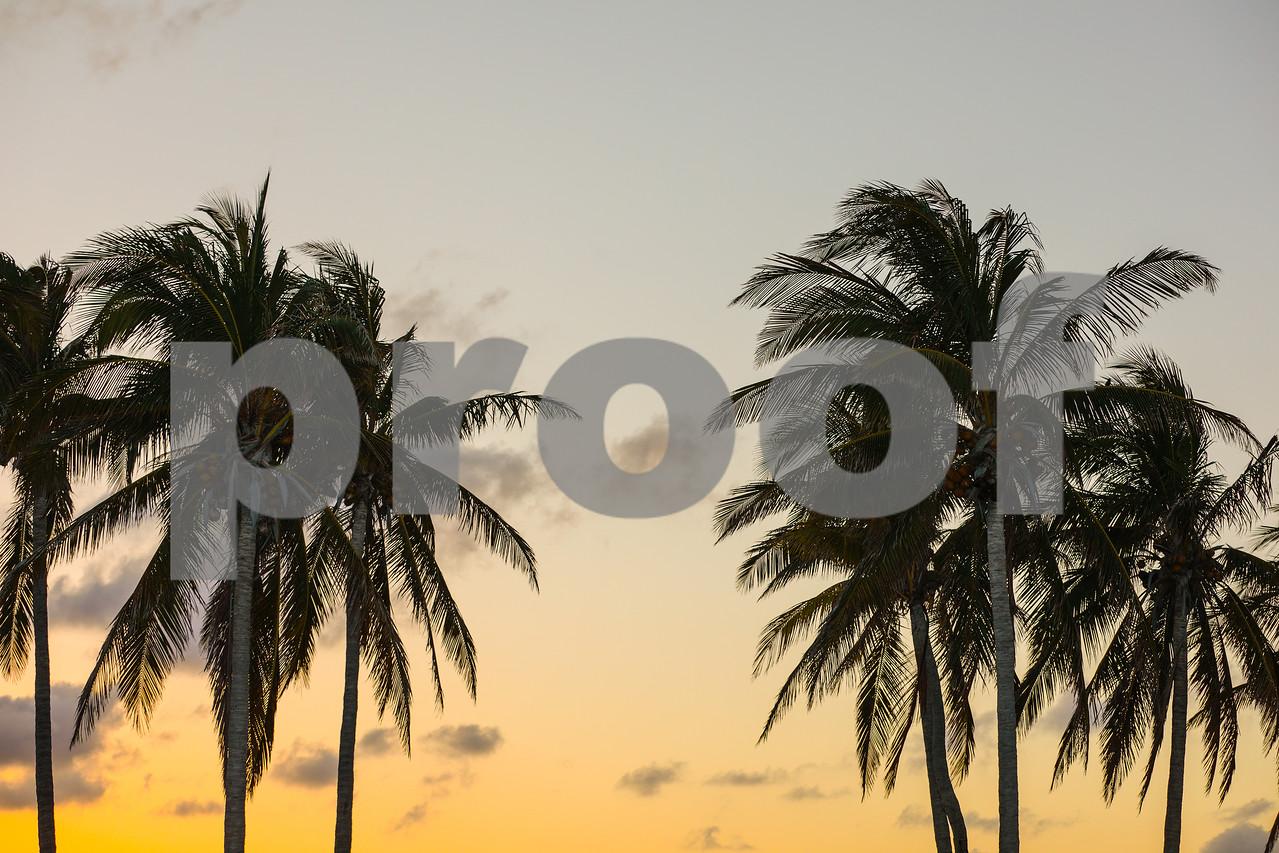 Twilight image of tropical Miami coconut palm trees