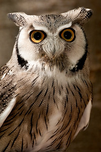 Grants White Faced Owl