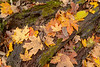 Leaves on log IMG_4346 26.7x40in 300dpi