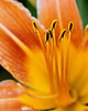Day Lily - Standing Tall