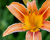 Day Lily IMG_2541 26pt7x40in 300dpi