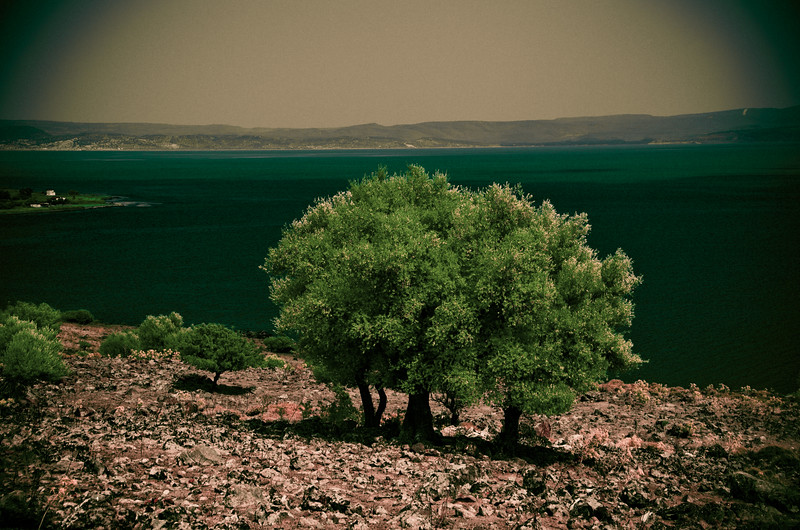Olive trees, Bay of Kalloni, Lesvos, Greece