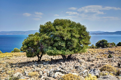 Olive trees, Bay of Kalloni, Lesvos, Greece
