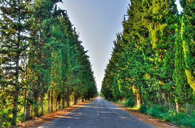 Cypress Trees, Lesvos, Greece