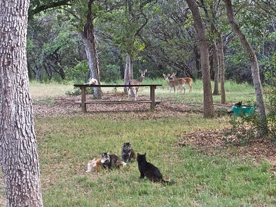 070412-01 Deer Looking For Cat Food