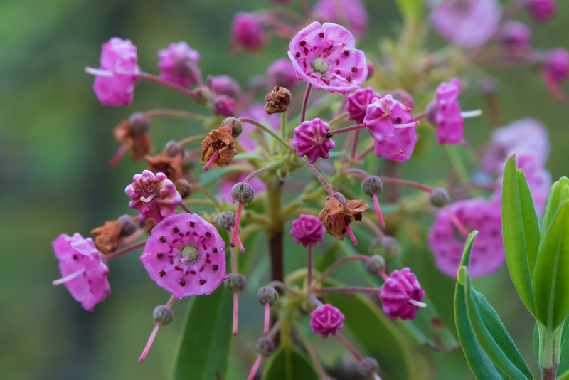 Sheep Laural (Kalmia angustifolia)