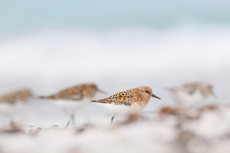 Sanderling flock foraging along the shoreline in a summer sandstorm.