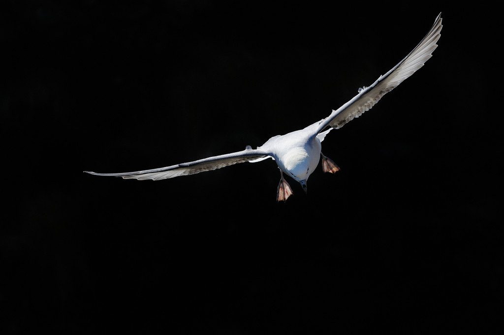 Fulmar soaring on thermals.
