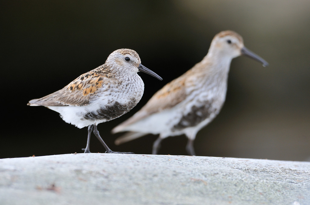 A pair of Dunlin.