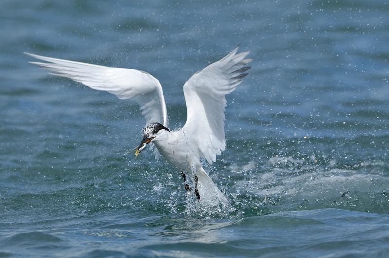 Fishing Sandwich Tern.