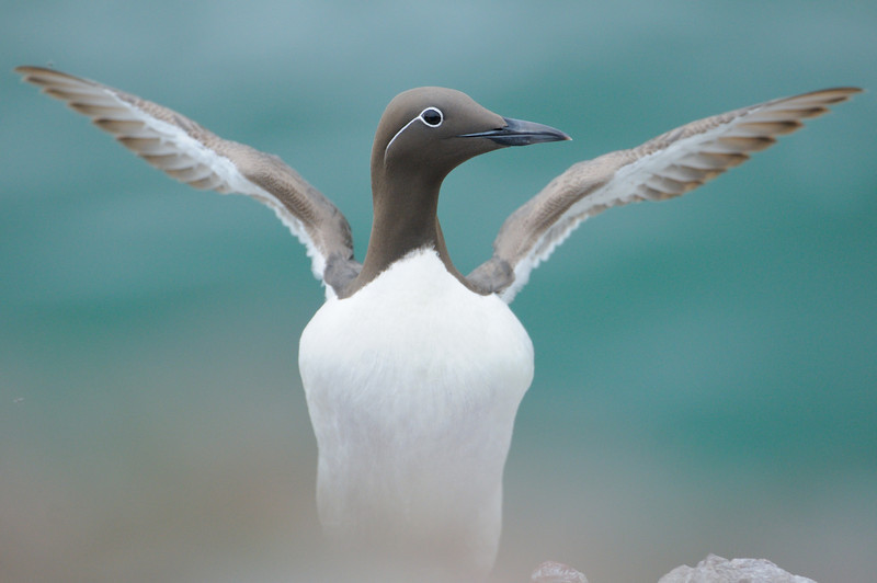 Bridled Guillemot stretching.
