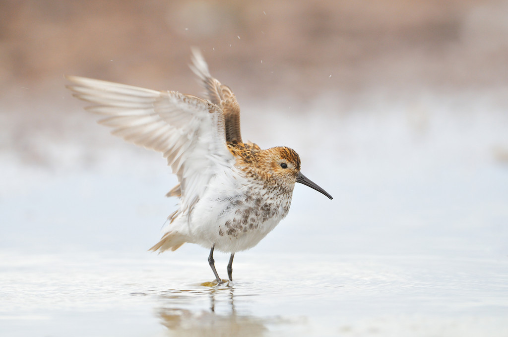 Dunlin Stretching.